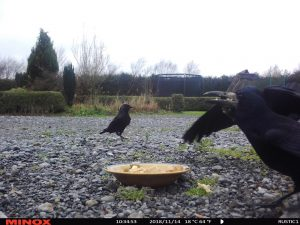 Crows and Jackdaws in Ireland