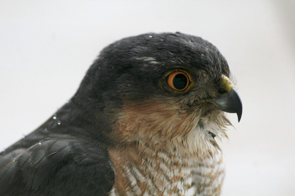 Video of a Sparrowhawk relaxing on a hedge in Ireland, using an archery bow as a perch.