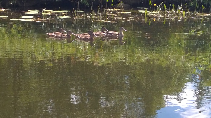 Family of Ducks on the Grand Canal